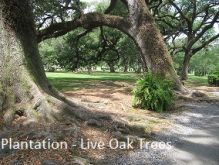 Oak_Valley_Live_Oaks.jpg
